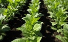 Zak�ady produkcyjne w Polsce pal� si� do eksportu wyrob�w tytoniowych
