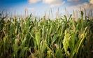 Startowe nawo�enie kukurydzy