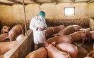PO chce wyja�nie� od ministra rolnictwa w sprawie afryka�skiego pomoru �wi�