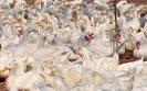 We Francji wirus ptasiej grypy zabił 2 tys. kaczek