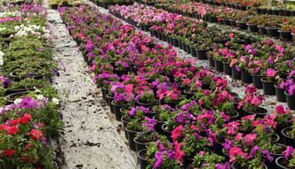 Embargo na kwiaty. Rosjanie chc� zaostrzenia przepis�w na ro�liny z Holandii