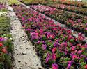 Wiadomo�ci: Embargo na kwiaty. Rosjanie chc� zaostrzenia przepis�w na ro�liny z Holandii
