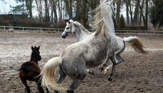 Hodowcy koni arabskich mia�d�� decyzje rz�du w sprawie stadnin