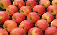 Owoc cichej współpracy. Polskie jabłka wróciły na rosyjski rynek