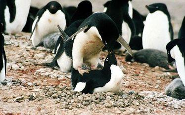 Pingwiny w Afryce? Dawniej �y�y tam a� 4 gatunki