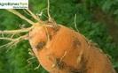 Bawe�nica topolowo-marchwiana