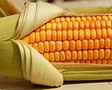 GMO w Polsce. PiS za odrzuceniem projektu ustawy, SLD nie zag�osuje