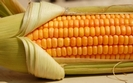Przybywa upraw GMO. Rekordowa powierzchnia