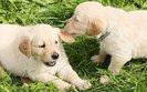 Pies rasowy - dlaczego warto wybrać psa z rodowodem?
