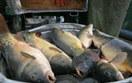 Wilbo b�dzie sprzedawa� ryby na Bia�oru�