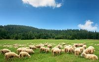 Wypas owiec na terenie Karkonoskiego Parku Narodowego. Dostaną dotacje