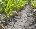 Wiadomo�ci: Susza zagra�a rolnikom. B�dzie mniej siana i pasz