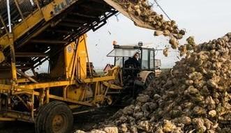 Polscy rolnicy boją się o uprawy buraków. Winna niemiecka firma?