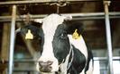 Hodowcy boj� si� o swoje krowy. Komisja Europejska ma zastrze�enia