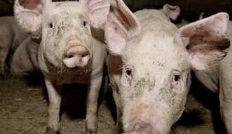 ASF nadal zagra�a polskim �winiom. Eksport wieprzowiny zablokowany