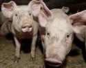 Wiadomo�ci: ASF nadal zagra�a polskim �winiom. Eksport wieprzowiny zablokowany