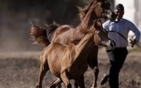 Duże zmiany w polskich stadninach koni arabskich. Nie będą już spółkami Skarbu Państwa