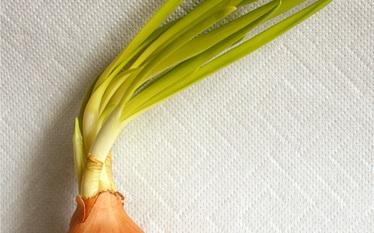 Sadzenie cebuli