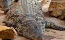 Izrael: Plaga krokodyli, mieszka�cy boj� si� o �ycie
