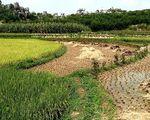 Sadzenie ry�u