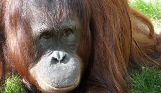 Lasy Borneo potrzebuj� naszej pomocy