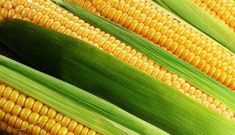 Szwajcarski producent GMO zapłaci 218 mln dol. kary. Farmerzy z Kansas wygrali w sądzie