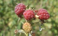 Instytut Ogrodnictwa prezentuje nowe odmiany malin
