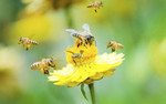 Wyznaczanie trendów w nauce: Dzikie pszczoły zagrożone przez wirus pszczół hodowlanych