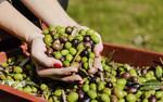 Przekształcanie odpadów z produkcji oliwy z oliwek na energię dla gospodarek wiejskich
