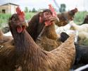 Wiadomości: Skażone kurczaki mogły trafić do Polski. Mięso jest badane