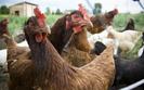 Polska wolna od ptasiej grypy. GIS liczy na wznowienie importu polskiego drobiu