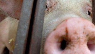 Przybywa chorych świń. Wykryto dwa nowe ogniska ASF