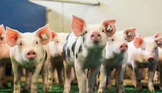 Powiatowy lekarz weterynarii może kazać wybić świnie. Sejm znowelizował ustawę o ochronie zdrowia zwięrząt