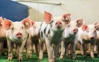 9,3 mln euro dla polskich hodowli dotkniętych afrykańskim pomorem świń