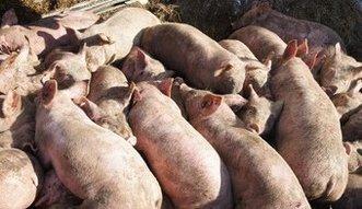 Kolejne przypadki ASF szkodzą hodowcom trzody. Co z eksportem wieprzowiny do Azji?