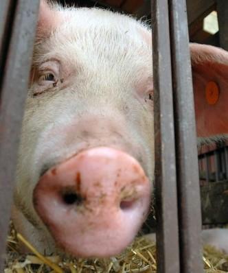 Wirus na Lubelszczyźnie. Prawie 2 tys. świń w kolejnym ognisku ASF