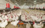 Zwalczenie maleńkich roztoczy przyniesie ogromne korzyści dostawcom jaj