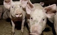 Afrykański pomór świń. Rząd zrekompensuje straty? Rolnicy: pomoc państwa zbyt mała