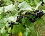 Sadzenie czarnej porzeczki