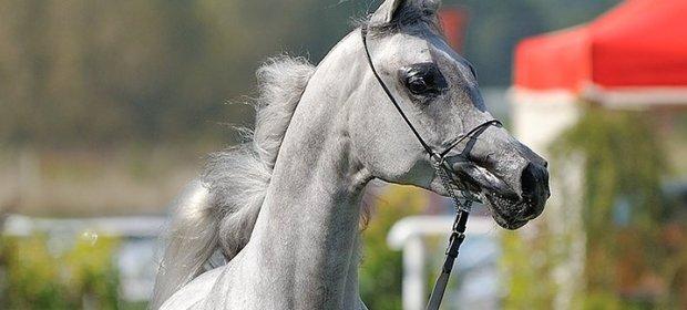 Konie arabskie znowu będą sprzedawane przez byłych szefów stadnin. Tym razem będzie to ich prywatny biznes.