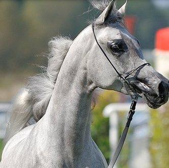Byli szefowie stadnin koni organizują własną aukcję. Zaangażowani są wszyscy, których minister wyrzucił z pracy