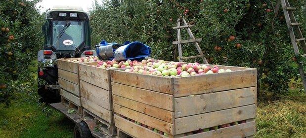 Wczesne odmiany jabłek są droższe nawet o 45 proc.
