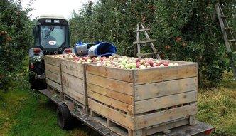 W tym roku mniejsze zbiory jabłek i gruszek. Winna pogoda