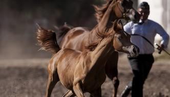 Ile kosztowała w tym roku aukcja koni w Janowie Podlaskim?