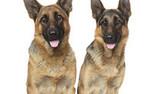 Wyznaczanie trendów w nauce: Psy wywąchują substancje chemiczne powiązane z nowotworem prostaty