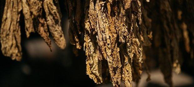 Susz tytoniowy wykorzystują przestępcy do produkcji papierosów bez akcyzy.